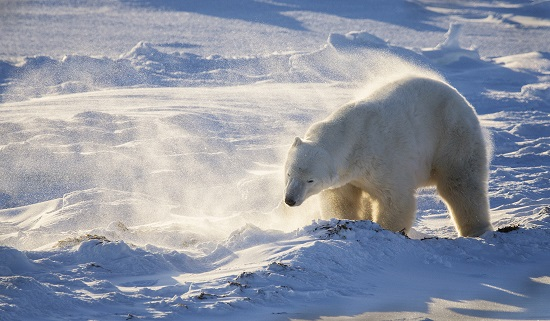 PC08 Male polar bear shaking off snow