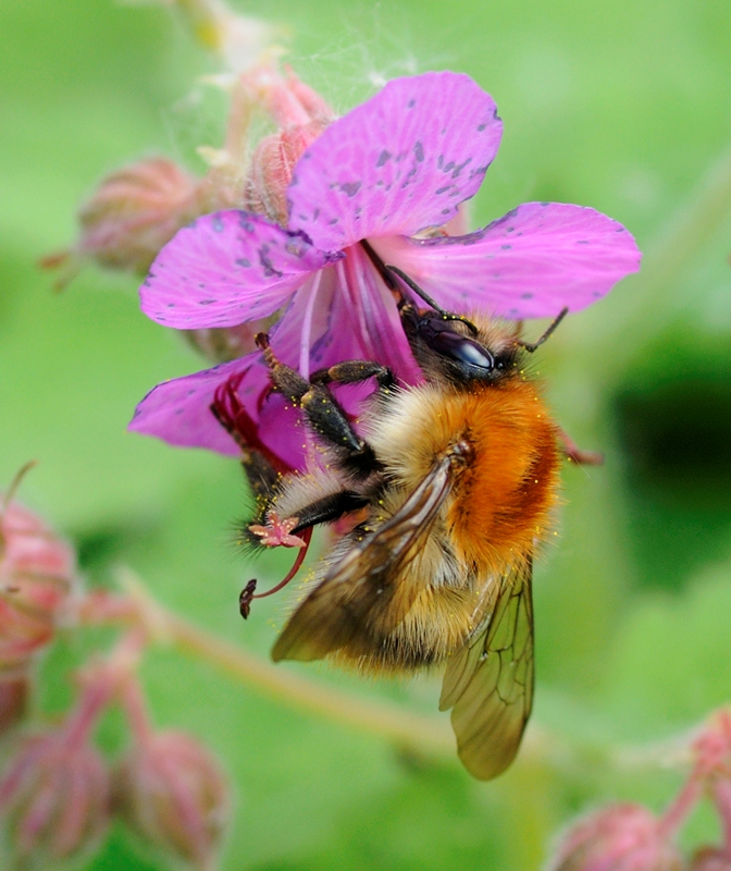 The pollinator - William Richardson HIGHLY COMMENDEDweb