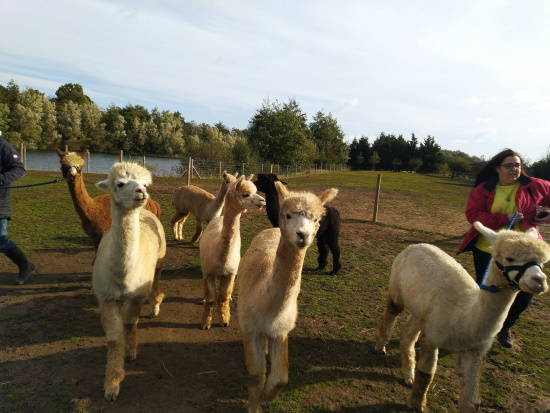 Alpacas in he field